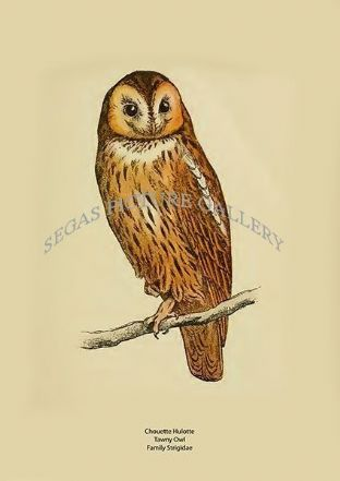 Chouette Hulotte - Tawny Owl - Family Strigidae